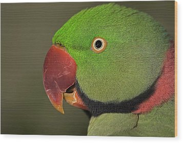 Wood Print featuring the photograph Alexandrine Parakeet by JT Lewis