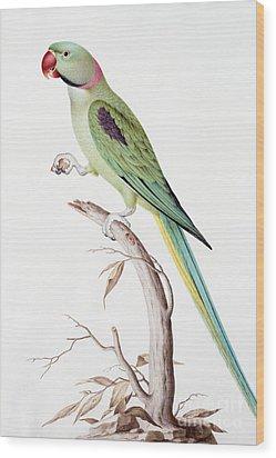 Alexandrine Parakeet Wood Print by Nicolas Robert