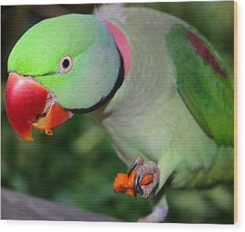 Alexandrine Parrot Feeding Wood Print