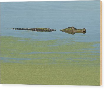 Alligator  Wood Print by Carolyn Dalessandro