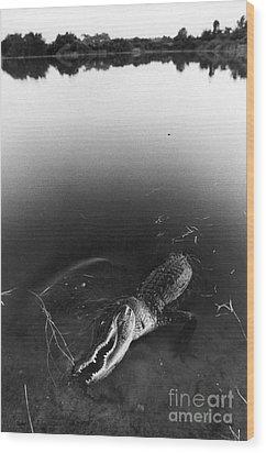 Alligator1 Wood Print by Jim Wright