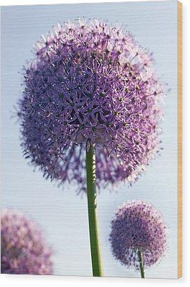 Allium Flower Wood Print by Tony Cordoza