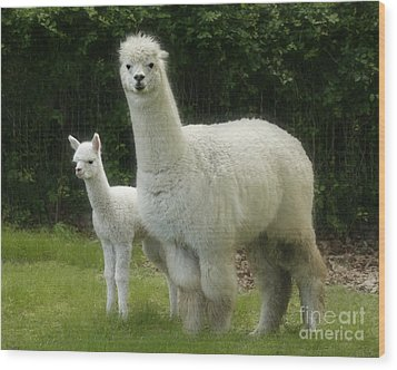 Alpaca And Foal Wood Print
