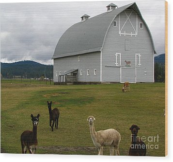 Alpacas Wood Print by Greg Patzer