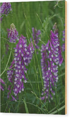 Alpine Vetch 1 Wood Print