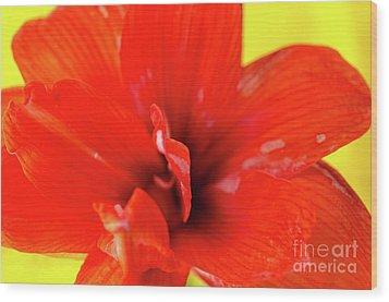 Amaryllis Jaune Red Amaryllis Flower On Bright Yellow Background Wood Print by Andy Smy