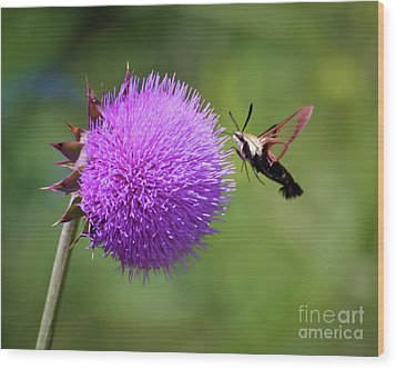 Wood Print featuring the photograph Amazing Insects - Hummingbird Moth by Kerri Farley