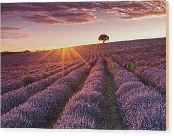 Amazing Lavender Field At Sunset Wood Print by Evgeni Dinev