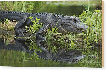 American Alligator In The Wild Wood Print by Dustin K Ryan