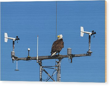 American Bald Eagle Perched On Communication Tower Wood Print by David Gn