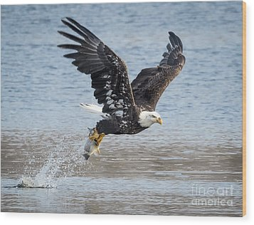 American Bald Eagle Taking Off Wood Print
