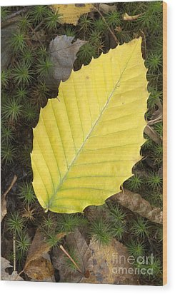 American Beech Leaf Wood Print by Erin Paul Donovan