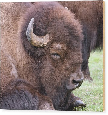 American Bison - Buffalo - 0012 Wood Print by S and S Photo