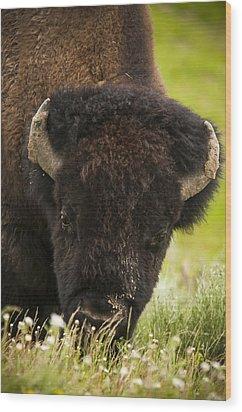 American Bison Wood Print by Chad Davis