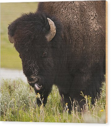 American Bison Tongue Wood Print by Chad Davis