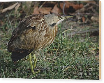 Wood Print featuring the photograph American Bittern by Douglas Stucky