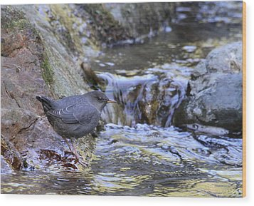 American Dipper Wood Print by Angie Vogel
