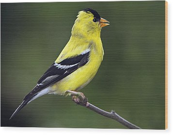 Wood Print featuring the photograph American Golden Finch by William Lee