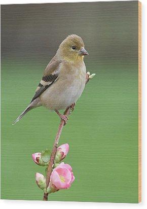 American Goldfinch Wood Print by Doug Herr