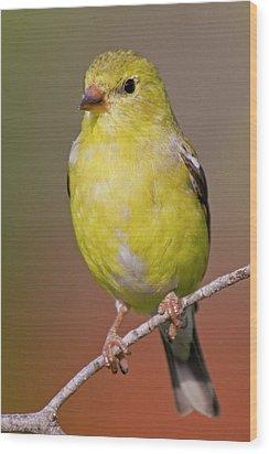 American Goldfinch  Female Wood Print by Bob Decker