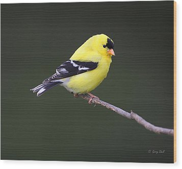 American Goldfinch Wood Print by Gerry Sibell