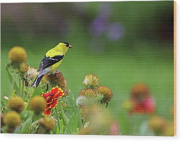 Wood Print featuring the photograph American Goldfinch by Juergen Roth