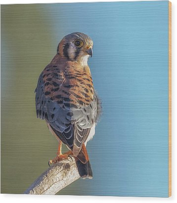Wood Print featuring the photograph American Kestrel 3 by Angie Vogel
