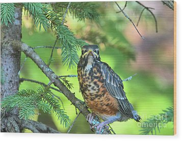 Wood Print featuring the photograph American Robin Fledgling by Debbie Stahre