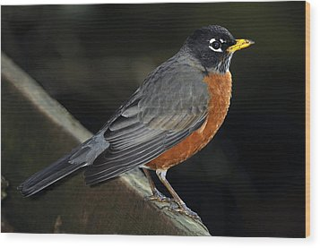 American Robin Wood Print by Laura Mountainspring