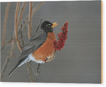 American Robin On Sumac Wood Print