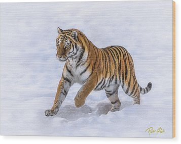 Wood Print featuring the photograph Amur Tiger Running In Snow by Rikk Flohr
