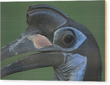 An Abyssinian Ground Hornbill Wood Print by Joel Sartore