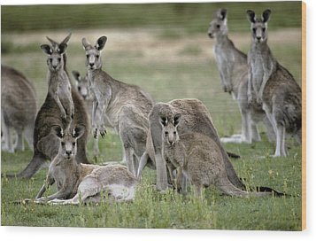 An Alert Mob Of Eastern Grey Kangaroos Wood Print by Jason Edwards