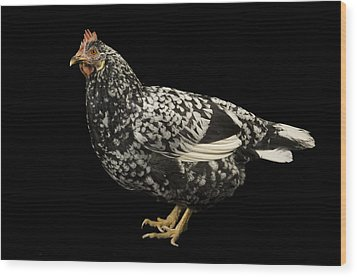 An Ancona Chicken At The Soukup Farm Wood Print by Joel Sartore