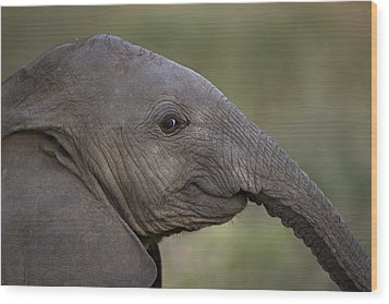 An Eight-month-old Elephant Calf Wood Print by Michael Nichols