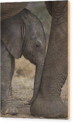 An Elephant Calf Finds Shelter Amid Wood Print by Michael Nichols