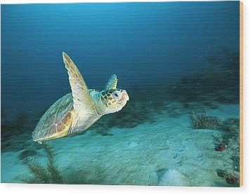 An Endangered Loggerhead Turtle Wood Print by Brian J. Skerry