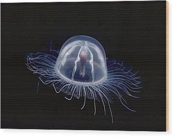 An Inch Long Transparent Jellyfish Wood Print by Bill Curtsinger