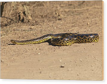 Anaconda Crossing Transpantaneira Wood Print