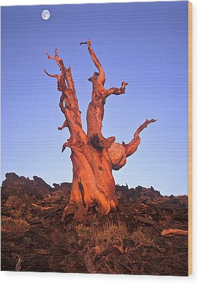 Ancient Bristlecone Pine And Moon Wood Print