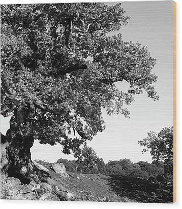 Ancient Oak, Bradgate Park Wood Print by John Edwards