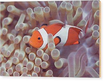 Anemone And Clown-fish Wood Print by MotHaiBaPhoto Prints