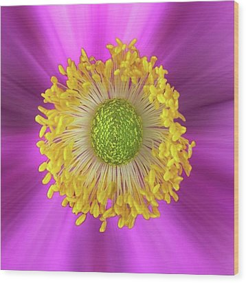 Anemone Hupehensis 'hadspen Wood Print by John Edwards