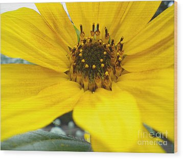Angled Sunflower Wood Print by Sonya Chalmers