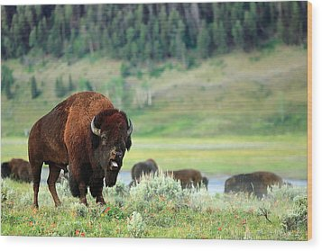 Angry Buffalo Wood Print by Todd Klassy