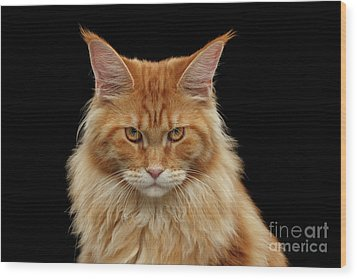 Angry Ginger Maine Coon Cat Gazing On Black Background Wood Print
