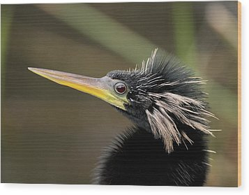 Anhinga Close-up Wood Print by Brian Magnier