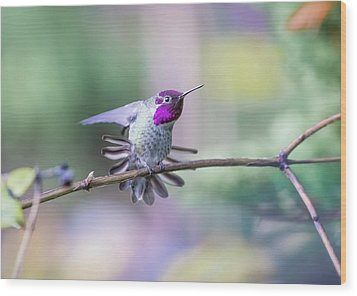 Anna's Hummingbird Stretching Wood Print