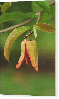 Annona Purpurea Flower Wood Print