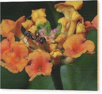 Ant On Plant  Wood Print by Richard Rizzo